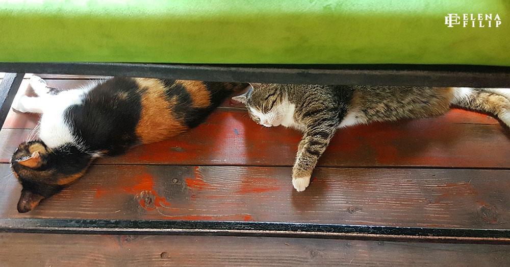 pisici belgrad